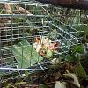 Wild rabbits at local park -- Disposable Pet-rabbit_trap.jpeg