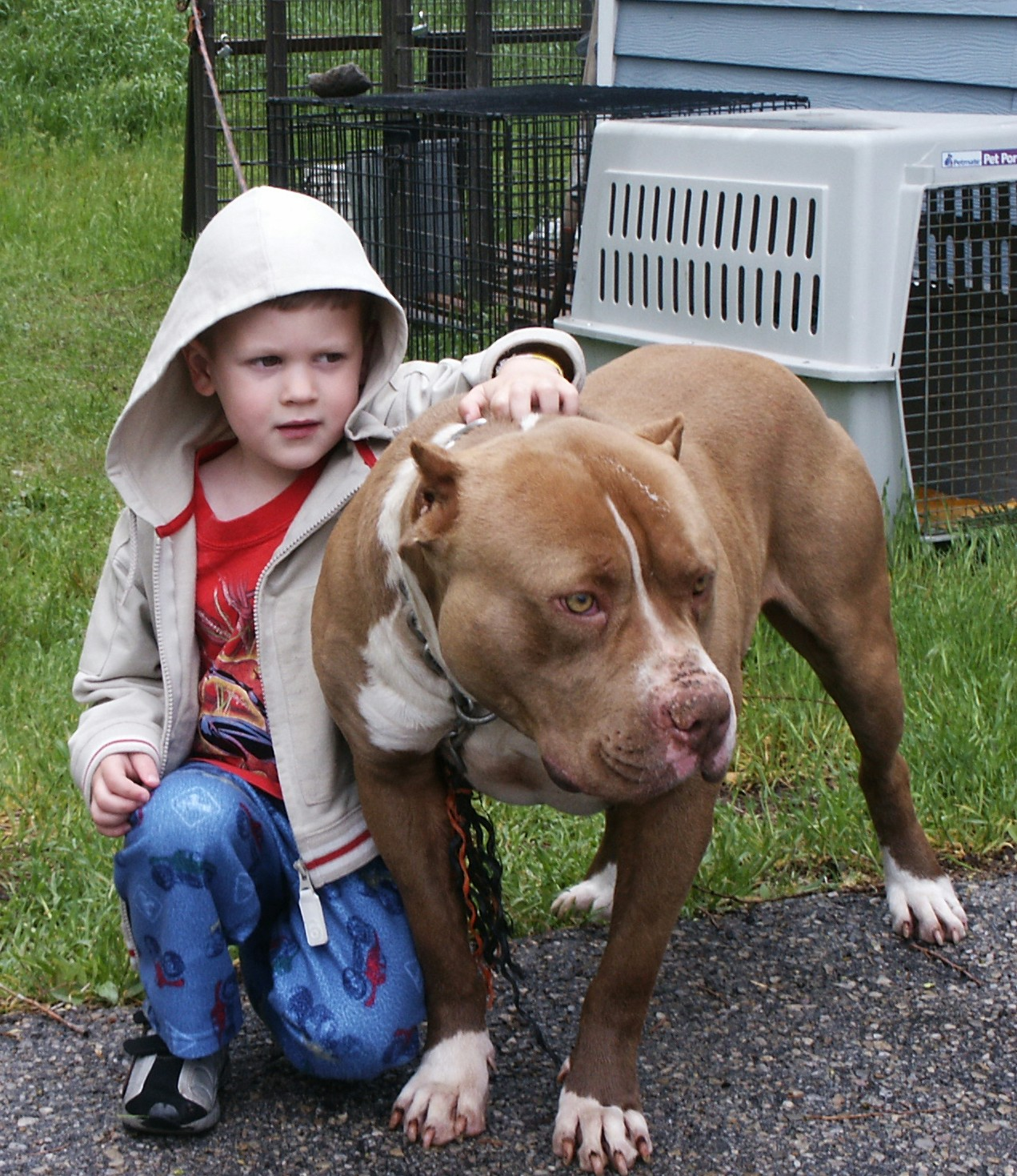 Pitbull dogs on steroids - photo#21