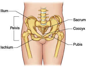 See where it says pelvis. Thats the pelvic region