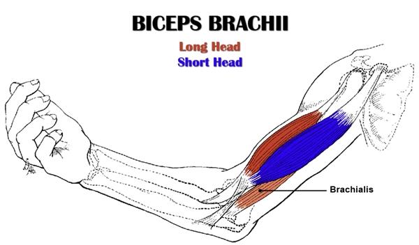 brachialis exercise - photo #30
